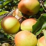 延邊蘋果梨