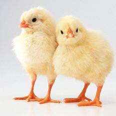 鸡身上三个部位易含毒
