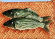郑州黄河鲤鱼