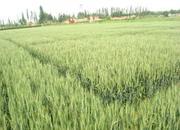 巴彦淖尔小麦