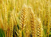 中原优质小麦