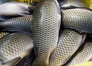 石人沟鲤鱼