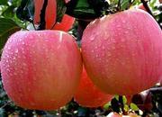 特克斯苹果