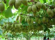 沐川猕猴桃