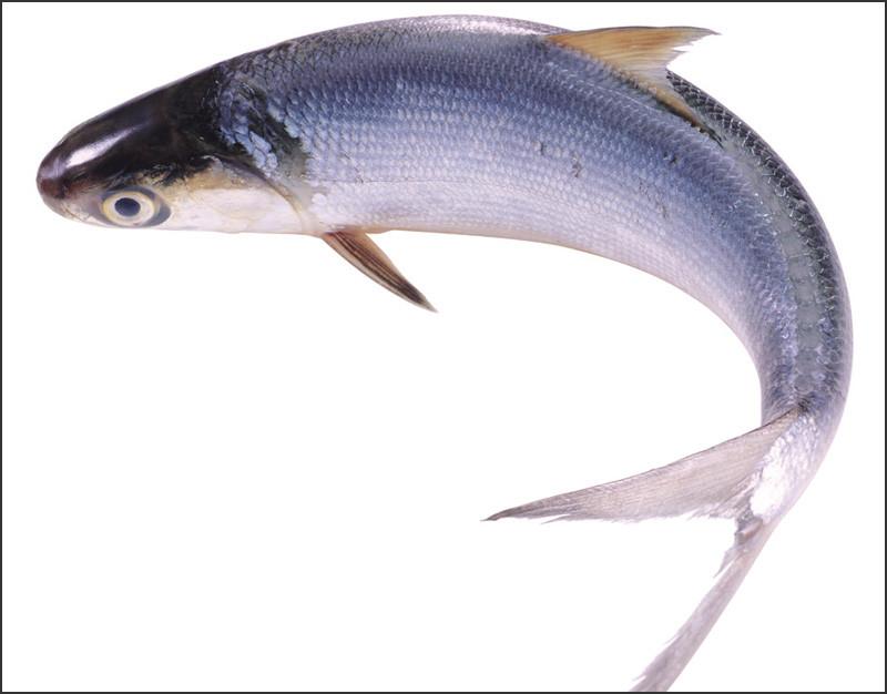 鲢鱼1.jpg
