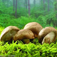 吃蘑菇可降低血压中的胆固醇