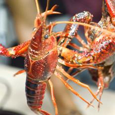 如何挑选小龙虾?