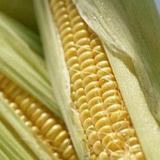 常吃玉米利尿、降血压血糖
